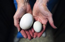 20120603193214-411-huevo.jpg - Un huevo de gallina gigante ten�a otro huevo peque�o dentro